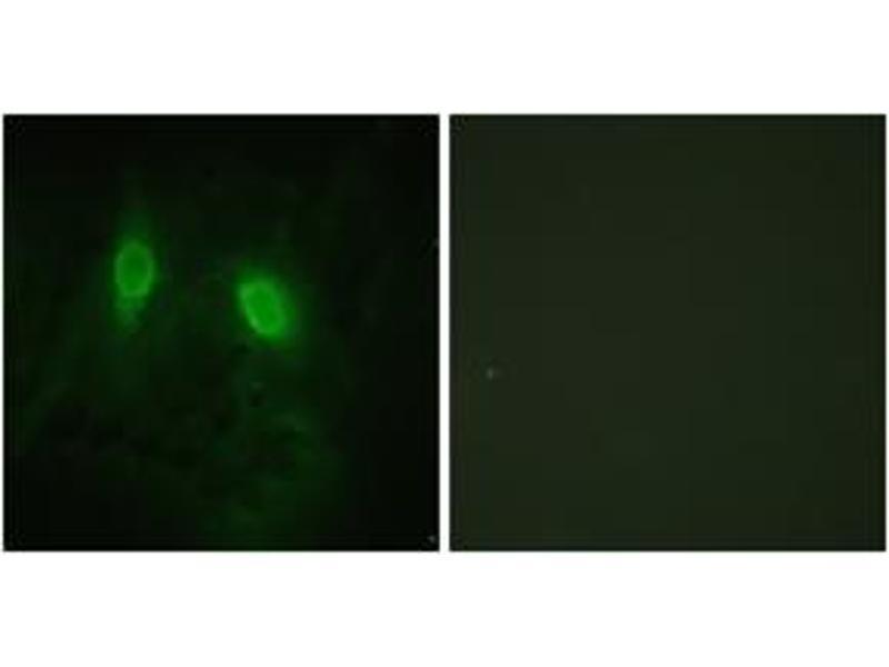 Immunofluorescence (IF) image for anti-Inhibitor of kappa Light Polypeptide Gene Enhancer in B-Cells, Kinase gamma (IKBKG) (AA 51-100) antibody (ABIN1532742)