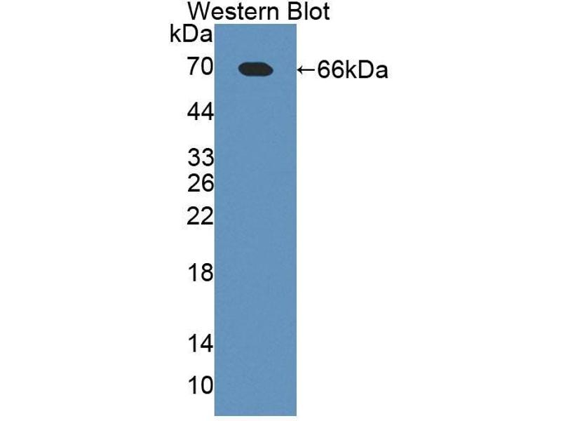 Western Blotting (WB) image for anti-Toll-Like Receptor 5 (TLR5) (AA 327-646) antibody (ABIN6000284)
