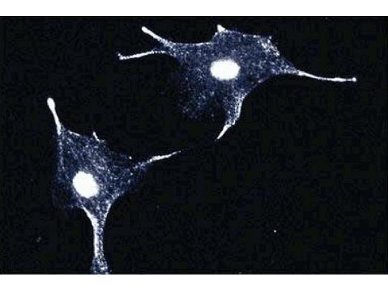 Immunofluorescence (IF) image for anti-S100 Calcium Binding Protein P (S100P) (AA 1-95) antibody (ABIN967893)