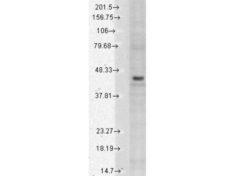 Western Blotting (WB) image for anti-KCNJ4 antibody (Potassium Inwardly-Rectifying Channel, Subfamily J, Member 4) (ABIN4328921)