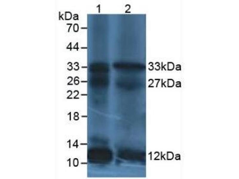 Western Blotting (WB) image for anti-Interleukin 12 (IL12) (AA 23-219) antibody (ABIN6002591)