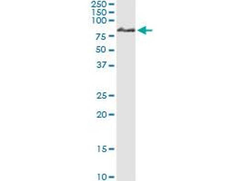 Immunoprecipitation (IP) image for anti-Interleukin-1 Receptor-Associated Kinase 1 (IRAK1) (AA 1-633), (full length) antibody (ABIN948040)