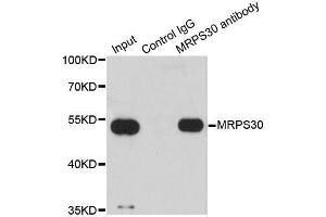 Image no. 4 for anti-Mitochondrial Ribosomal Protein S30 (MRPS30) antibody (ABIN6144043)