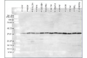 Image no. 1 for anti-MAPK14 antibody (Mitogen-Activated Protein Kinase 14) (AA 341-360) (ABIN264893)