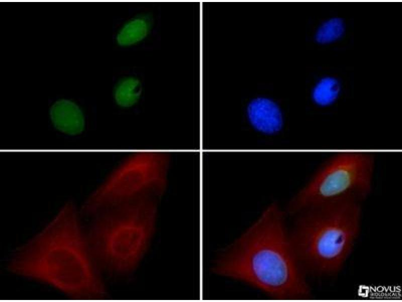 Immunofluorescence (IF) image for anti-BMI1 Polycomb Ring Finger Oncogene (BMI1) antibody (ABIN4284857)
