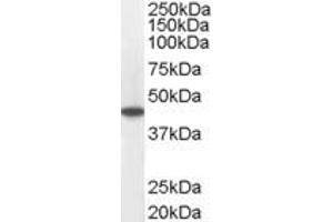 Image no. 2 for anti-Acyl-CoA Dehydrogenase, C-4 To C-12 Straight Chain (ACADM) (C-Term) antibody (ABIN184850)