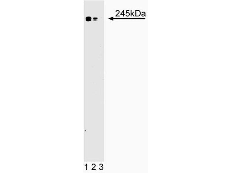Western Blotting (WB) image for anti-MTOR antibody (Mechanistic Target of Rapamycin (serine/threonine Kinase)) (AA 185-290) (ABIN968383)