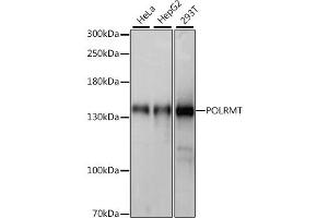 Image no. 1 for anti-Polymerase (RNA) Mitochondrial (DNA Directed) (POLRMT) antibody (ABIN6717355)