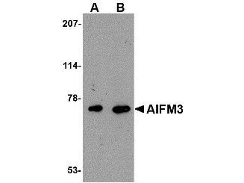 Western Blotting (WB) image for anti-Apoptosis-Inducing Factor, Mitochondrion-Associated, 3 (AIFM3) (Center) antibody (ABIN615014)