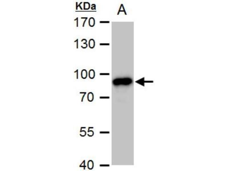 Western Blotting (WB) image for anti-Protein Kinase C, gamma (PRKCG) (Center) antibody (ABIN442501)