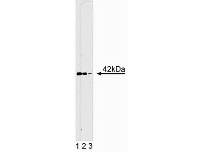 Western Blotting (WB) image for anti-ERK2 Antikörper (Mitogen-Activated Protein Kinase 1) (AA 219-358) (ABIN967747)
