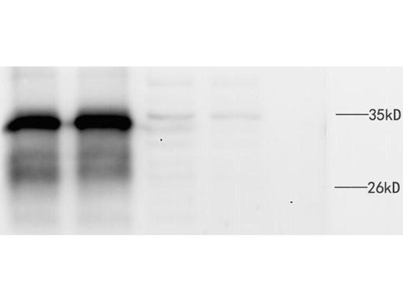 Immunoprecipitation (IP) image for anti-MYD88 antibody (Myeloid Differentiation Primary Response Gene (88)) (ABIN446974)