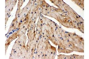 Image no. 1 for anti-FXYD Domain Containing Ion Transport Regulator 1 (FXYD1) (AA 21-92) antibody (ABIN4951107)