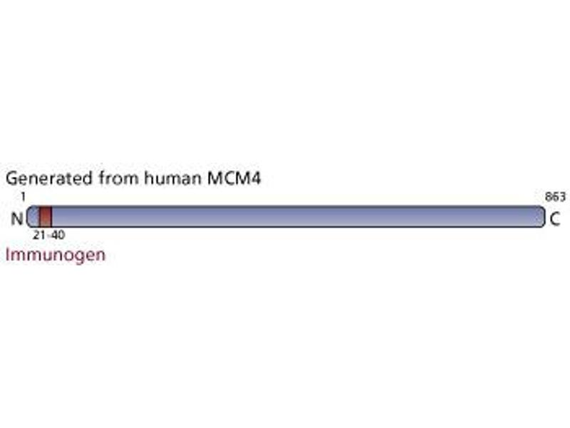 image for anti-Minichromosome Maintenance Deficient 4 (MCM4) (AA 21-40) antibody (ABIN967643)