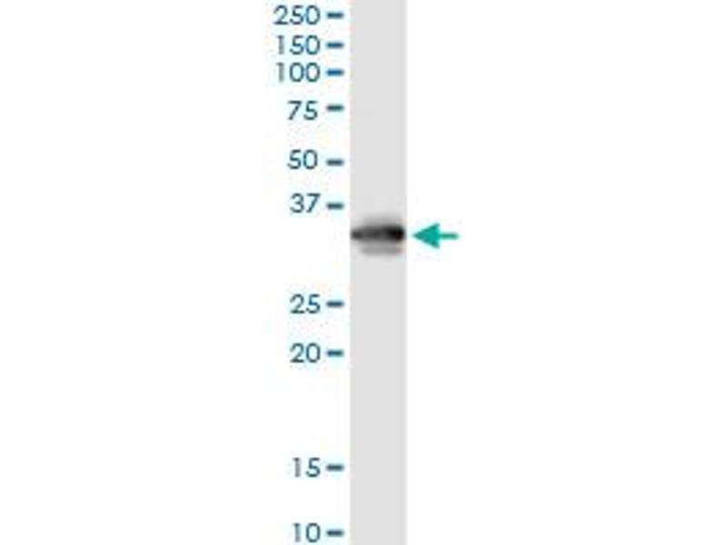 Immunoprecipitation (IP) image for anti-FCN3 Antikörper (Ficolin (Collagen/fibrinogen Domain Containing) 3 (Hakata Antigen)) (AA 1-288) (ABIN521997)