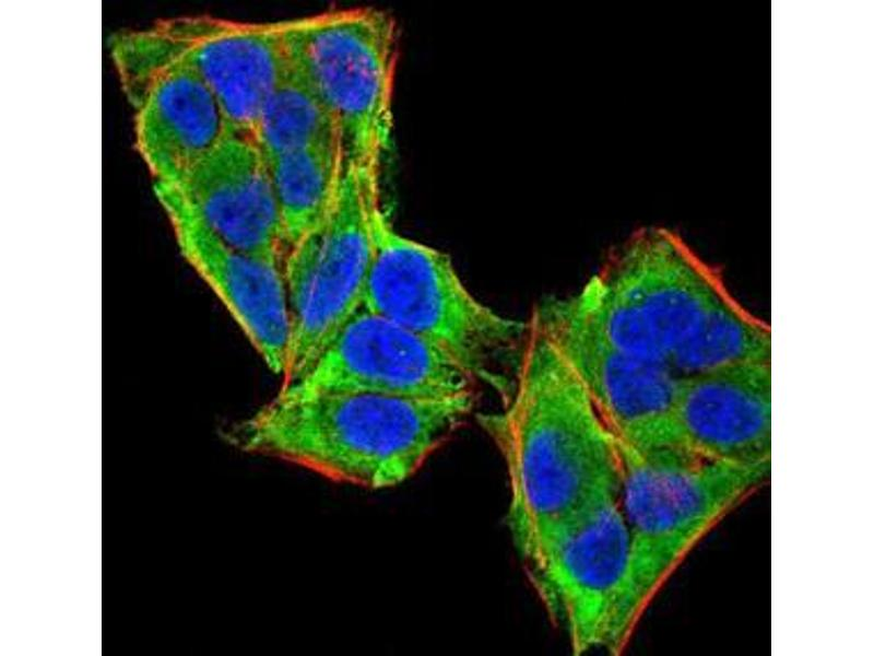 Immunocytochemistry (ICC) image for anti-Phospholipase C gamma 1 antibody (phospholipase C, gamma 1) (AA 1192-1291) (ABIN5542680)