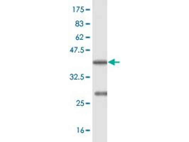 Image no. 3 for anti-Berardinelli-Seip Congenital Lipodystrophy 2 (Seipin) (BSCL2) (AA 263-354) antibody (ABIN1327730)