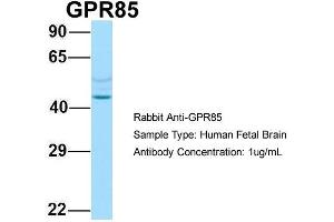Image no. 1 for anti-G Protein-Coupled Receptor 85 (GPR85) (N-Term) antibody (ABIN2790257)