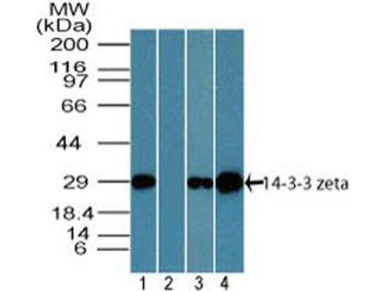 image for anti-tyrosine 3-Monooxygenase/tryptophan 5-Monooxygenase Activation Protein, zeta Polypeptide (YWHAZ) (AA 200-245) antibody (ABIN1491173)