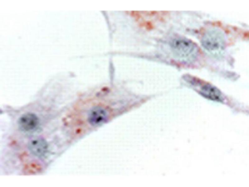 Immunofluorescence (IF) image for anti-Prokineticin Receptor 2 (PROKR2) (N-Term) antibody (ABIN1107430)