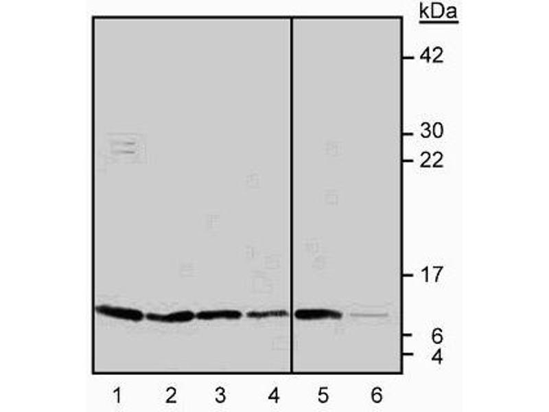 Western Blotting (WB) image for anti-Thioredoxin (TXN) antibody (ABIN967658)
