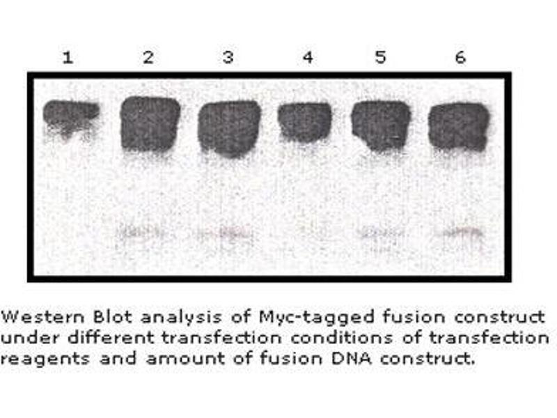 image for anti-Myc 标记 (AA 410-419) 抗体 (ABIN790724)