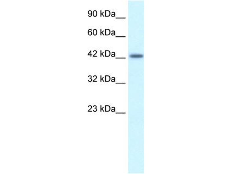 Western Blotting (WB) image for anti-Activating Transcription Factor 2 (ATF2) (C-Term) antibody (ABIN2778291)