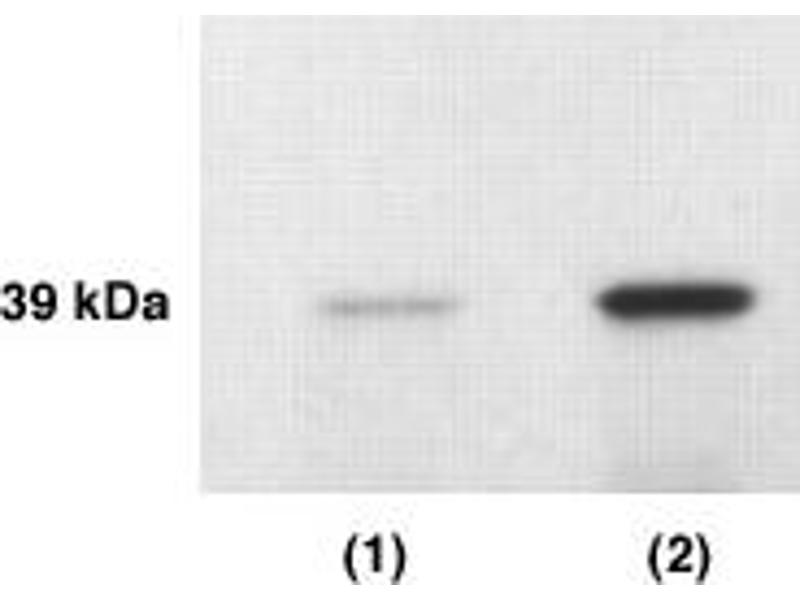 Western Blotting (WB) image for anti-Kallikrein 4 Antikörper (Kallikrein-Related Peptidase 4) (AA 242-254) (ABIN152277)
