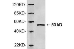 Image no. 1 for anti-Adaptor-Related Protein Complex 2, mu 1 Subunit (AP2M1) (N-Term) antibody (ABIN1574063)