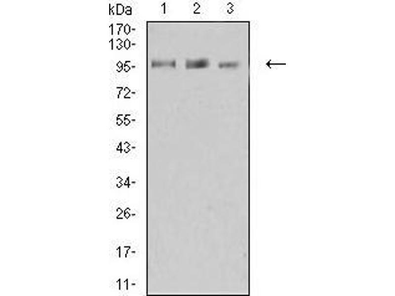 Western Blotting (WB) image for anti-Lysine (K)-Specific Demethylase 1A (KDM1A) (AA 55-263) antibody (ABIN5542574)