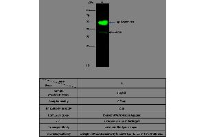 Immunoprecipitation (IP) image for anti-Arginase, Liver (ARG1) (AA 1-322) antibody (ABIN1998839)