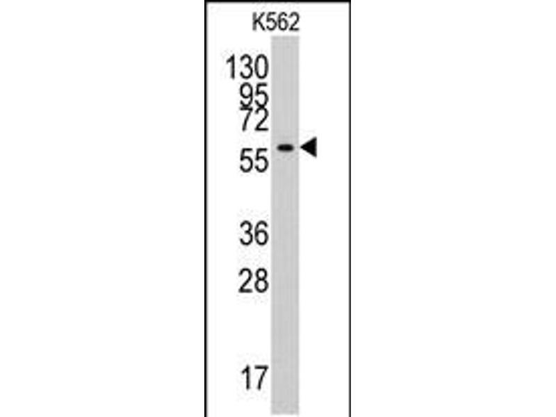 Image no. 1 for anti-Tyrosyl-tRNA Synthetase 2, Mitochondrial (YARS2) (AA 43-71), (N-Term) antibody (ABIN5537814)
