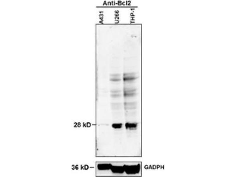 Western Blotting (WB) image for anti-B-Cell CLL/lymphoma 2 (BCL2) (AA 43-93), (pSer70) antibody (ABIN683428)