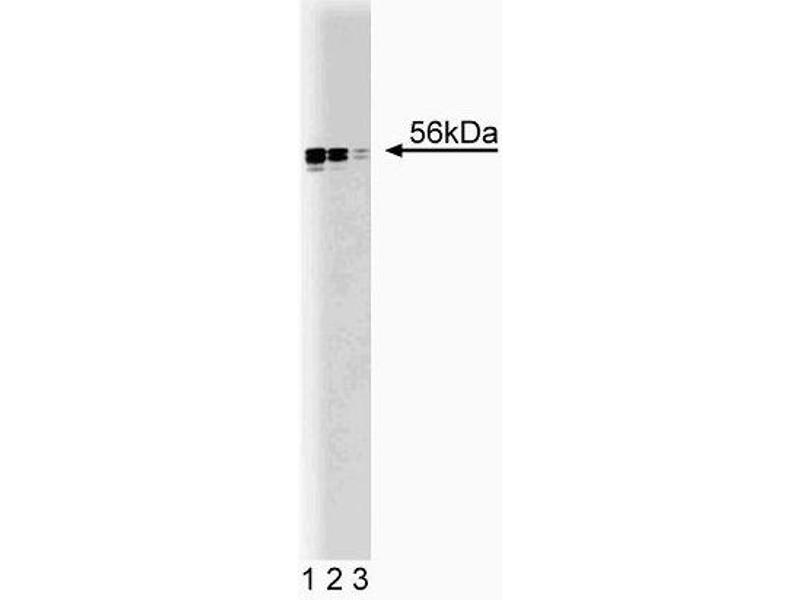 Western Blotting (WB) image for anti-V-Yes-1 Yamaguchi Sarcoma Viral Related Oncogene Homolog (LYN) (AA 1-138) antibody (ABIN967688)