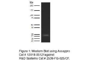 Western Blotting (WB) image for anti-Fibroblast Growth Factor 21 (FGF21) antibody (Biotin) (ABIN613105)