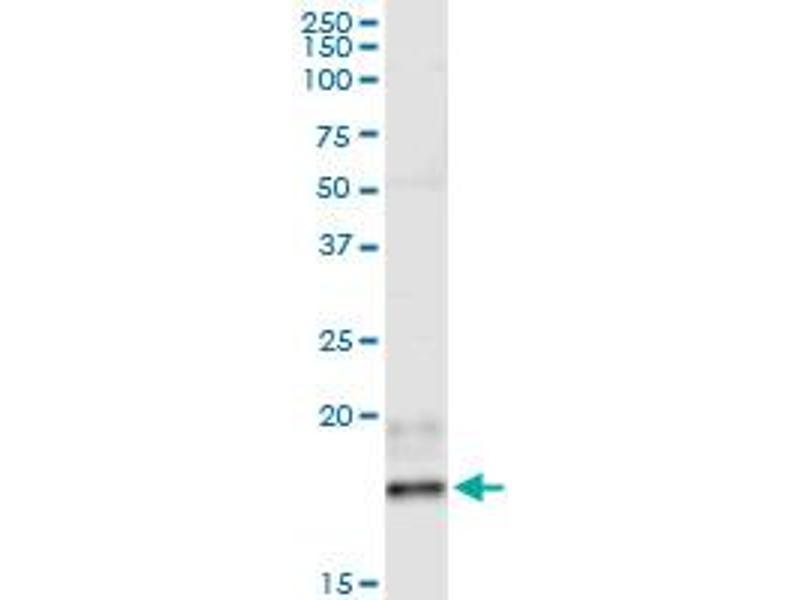 Immunoprecipitation (IP) image for anti-Interferon, beta 1, Fibroblast (IFNB1) (AA 1-187), (full length) antibody (ABIN516918)