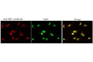 Image no. 1 for anti-EP300 Interacting Inhibitor of Differentiation 1 (EID1) (AA 1-19) antibody (ABIN3201017)