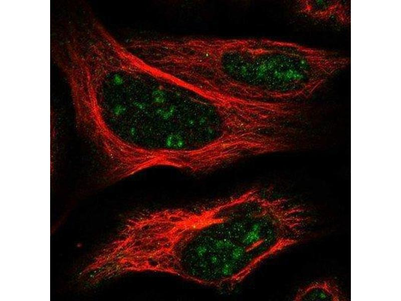 Immunofluorescence (IF) image for anti-Elongation Factor RNA Polymerase II-Like 3 (ELL3) antibody (ABIN4307756)