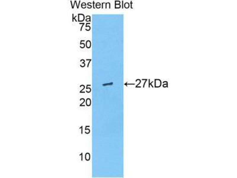 Western Blotting (WB) image for anti-Angiopoietin-Like 6 (ANGPTL6) (AA 238-457) antibody (ABIN1858008)