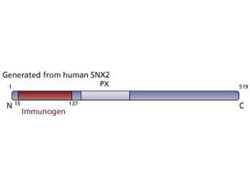 Image no. 3 for anti-Sorting Nexin 2 (SNX2) (AA 15-137) antibody (ABIN968465)