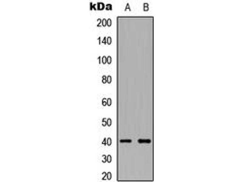 Western Blotting (WB) image for anti-TNFSF11 antibody (Tumor Necrosis Factor (Ligand) Superfamily, Member 11) (Center) (ABIN2705774)