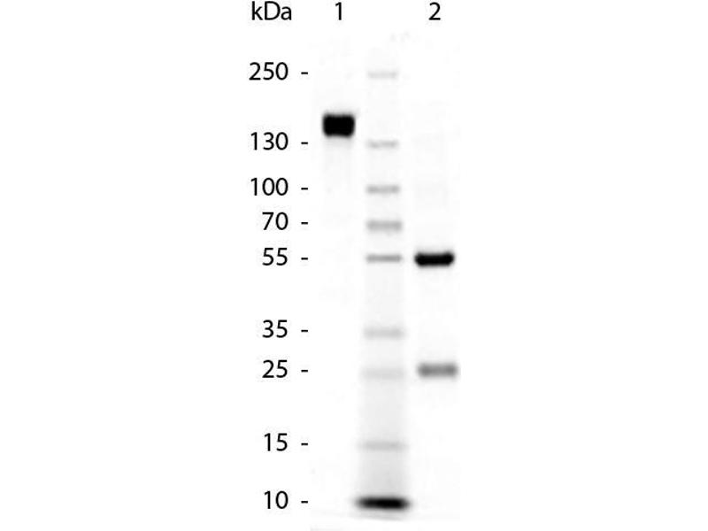 SDS-PAGE (SDS) image for Goat anti-Rabbit IgG (Heavy & Light Chain) antibody (ABIN102001)
