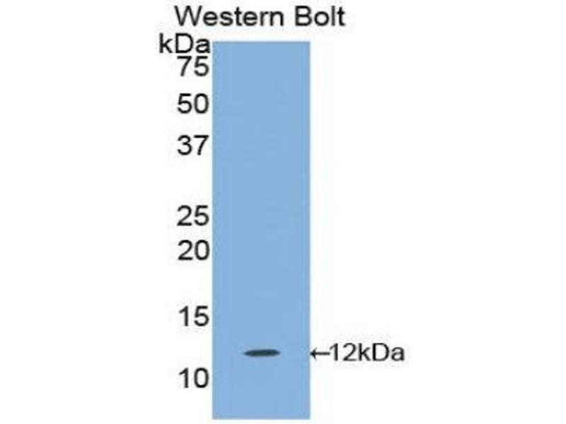 Western Blotting (WB) image for anti-Interleukin 1 Receptor, Type I (IL1R1) (AA 120-208) antibody (ABIN1859387)