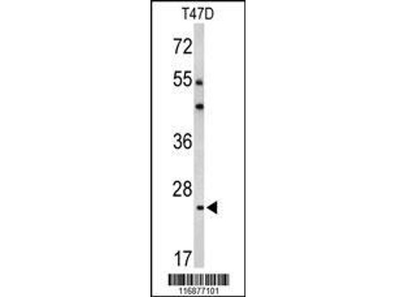 Western Blotting (WB) image for anti-BCL2-Related Protein A1 (BCL2A1) (AA 53-81), (Center) antibody (ABIN650621)