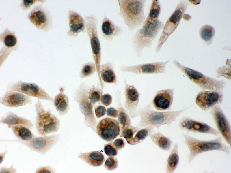 Immunohistochemistry (IHC) image for anti-Clock Homolog (Mouse) (CLOCK) (AA 75-109), (N-Term) antibody (ABIN3043813)
