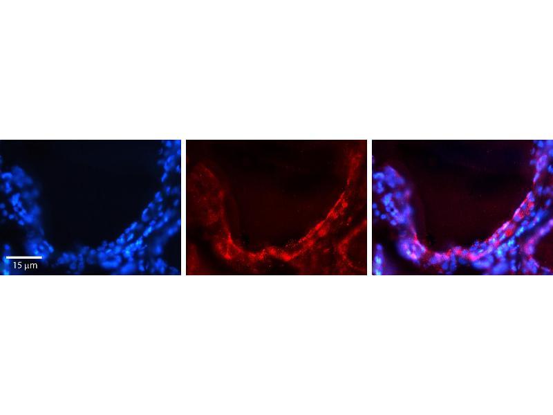 Immunohistochemistry (IHC) image for anti-Gap Junction Protein, alpha 1, 43kDa (GJA1) (Middle Region) antibody (ABIN2774852)