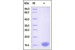 Image no. 1 for Fatty Acid Binding Protein 2, Intestinal (FABP2) (AA 2-132) protein (His tag) (ABIN2181053)