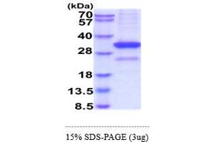 Image no. 1 for CD52 (CD52) (AA 21-248) protein (hIgG-His-tag) (ABIN6388179)
