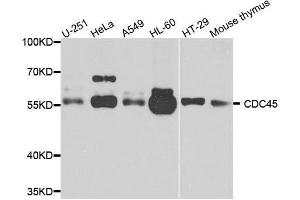 Image no. 3 for anti-Cell Division Cycle 45 Homolog (S. Cerevisiae) (CDC45) antibody (ABIN3022781)