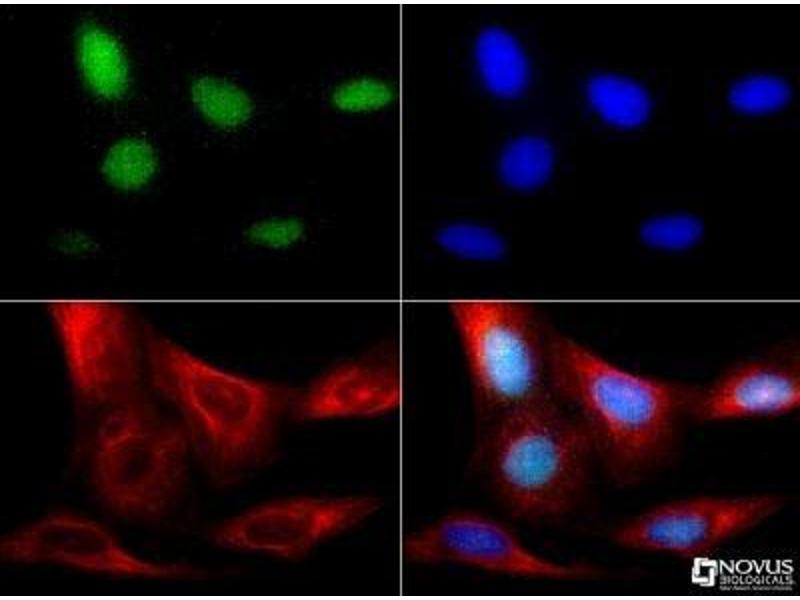 Immunofluorescence (IF) image for anti-RNA Binding Protein, Fox-1 Homolog (C. Elegans) 3 (RBFOX3) (AA 20-100), (Internal Region) antibody (ABIN4349539)